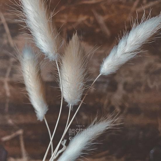 白兔尾草 (乾花) | 襯花