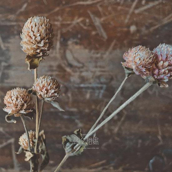 粉千日紅 (乾花)   襯花