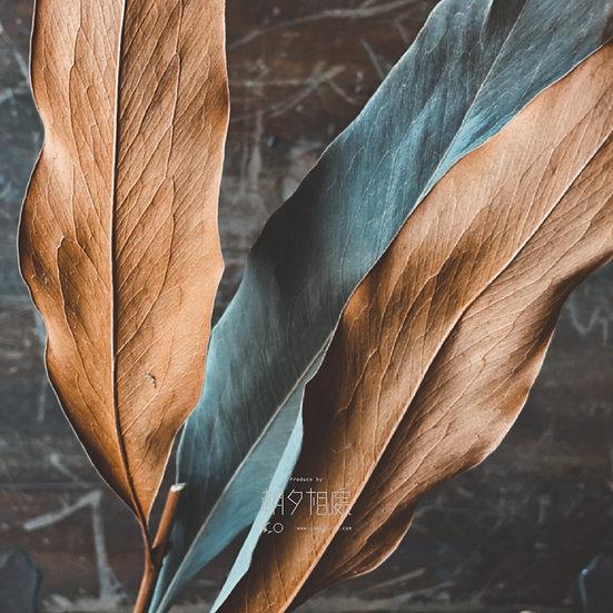 銀樺葉 (乾花)   襯花