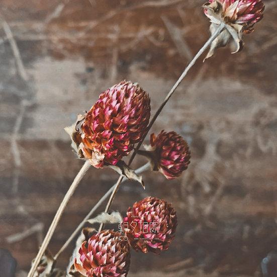 紅千日紅 (乾花)   襯花