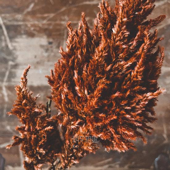 紅槍型雞冠花 (乾花)   主花