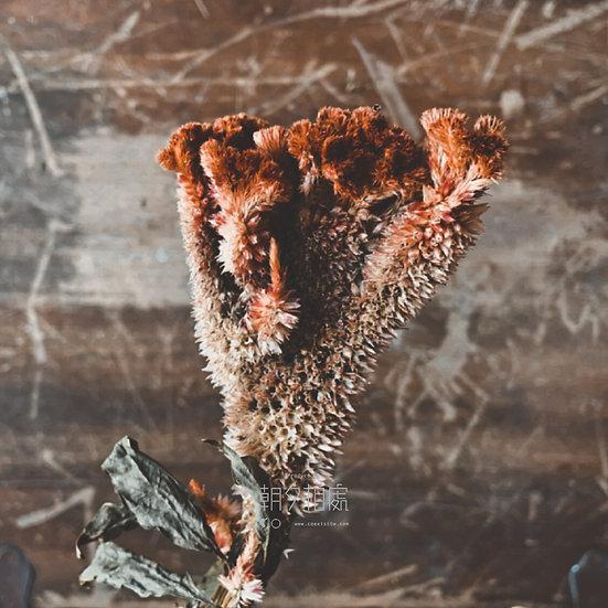 紅雞冠花 (乾花)   主花