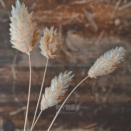 白加納利(乾花)   襯花