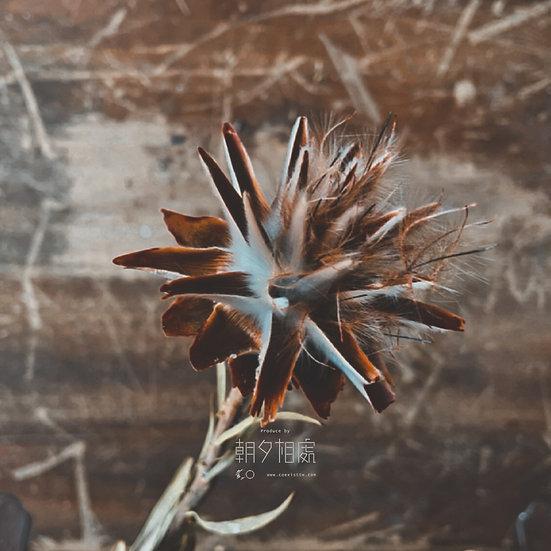陽光陀羅 (乾花) | 主花