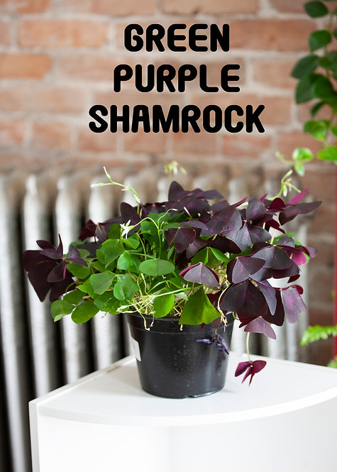 Green & Purple Shamrock, Oxalis regnellii, St. Patty's Day, Blooming