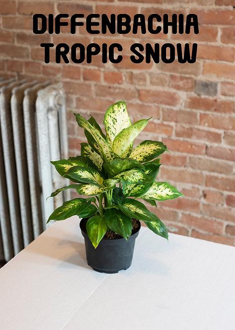 Dieffenbachia Tropic Snow, Dumbcane, Leopard Lilly, Easy, Large