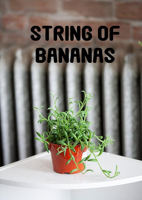 String of Bananas Succulent, Senecio Radicans, Trailing, Fast Growing