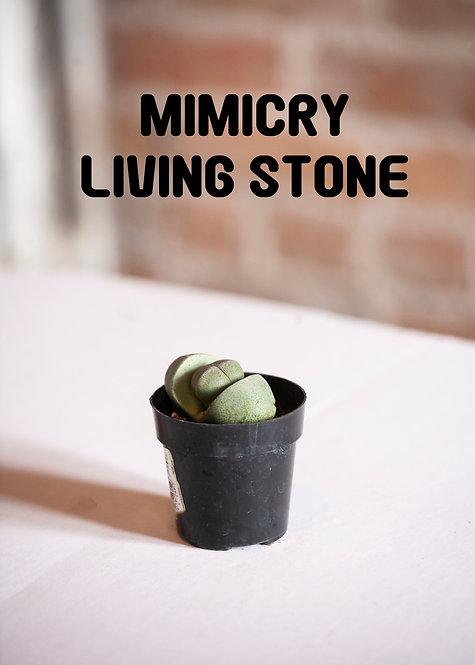 Mimicry Living Stone, Uncommon, Succulent, Split Rock