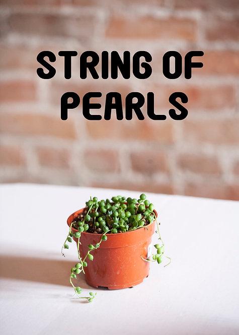 String Of Pearls, Succulent, Senecio Rowleyanus, String of Peas