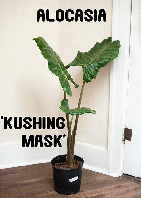 Alocasia Kushing Mask, Elephant Ear, Uncommon, Fast Grower, Massive