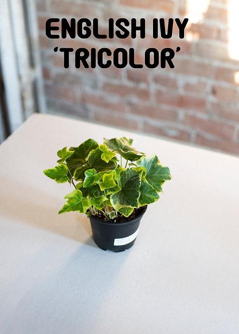 English Ivy Tricolor, Hereda Helix, Easy, Beginner, Medium Light