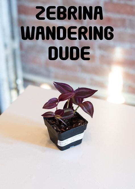Zebrina Wandering Dude, Tradescantia, Purple, Sparkly, Easy, Silver