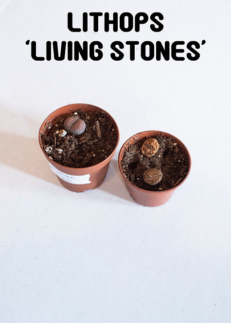 Lithops, Living Stones, Ice Plant, Succulent, Uncommon