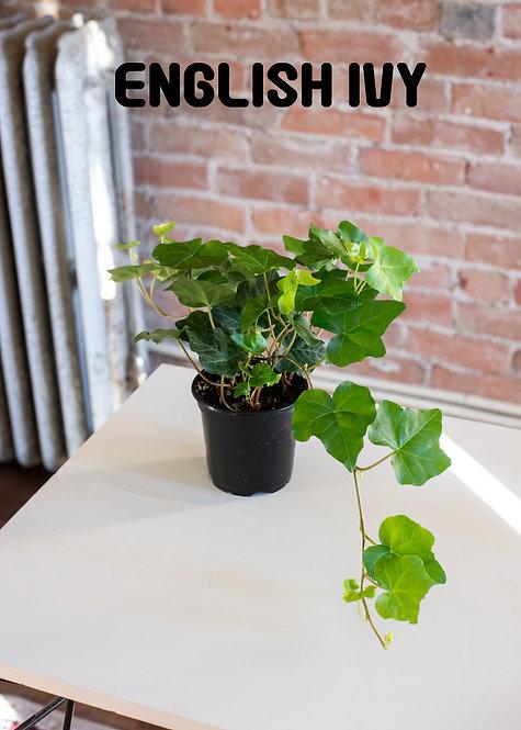 English Ivy, Hereda Helix, Easy, Beginner, Medium Light, Trailing