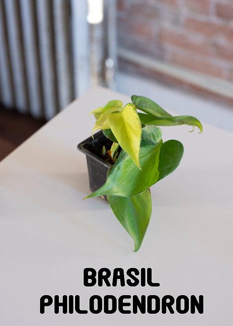 Brasil Philodendron, Cordatum Brasil, Beginner, Philo Hederaceum