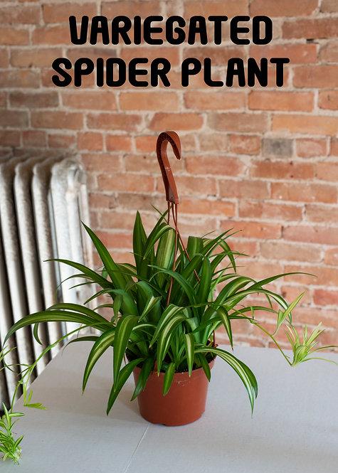 Variegated Spider Plant, Chlorophytum comosum, Pet Safe, Beginner, Easy, Popular