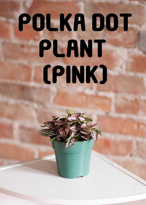 Polka Dot Plant, Hypoestes Phyllostachya, Pink House Plants, Quick Grower