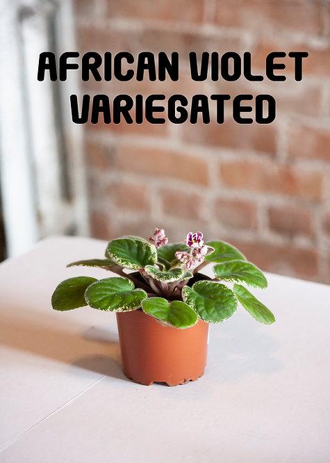 African Violet, Variegated, Rare, Pink Plants, Purple, Pet Safe