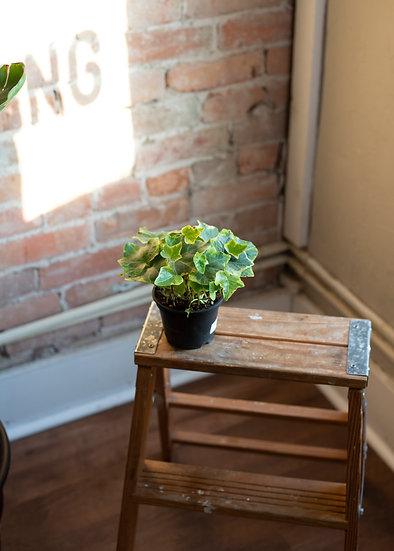 English Ivy Tricolor, Beginner, Low Light