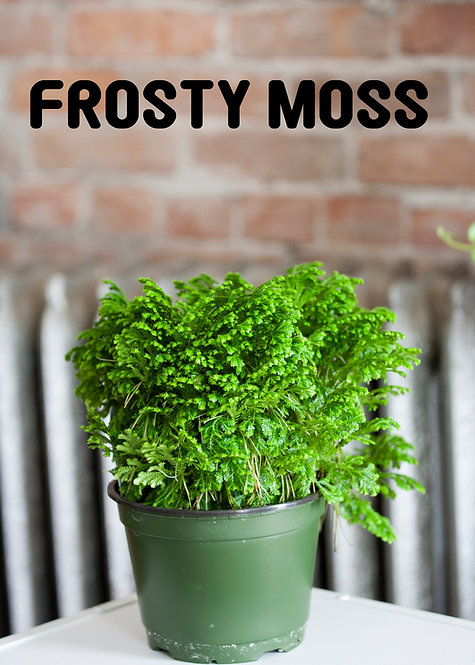 Frosty Moss, Humidity Loving, Low Light