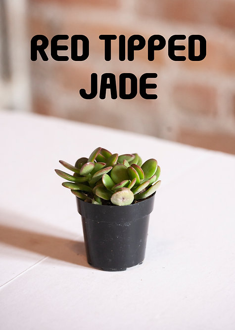 Crassula Ovata, Red Tipped Jade Plant, Succulent,  California Red Tip