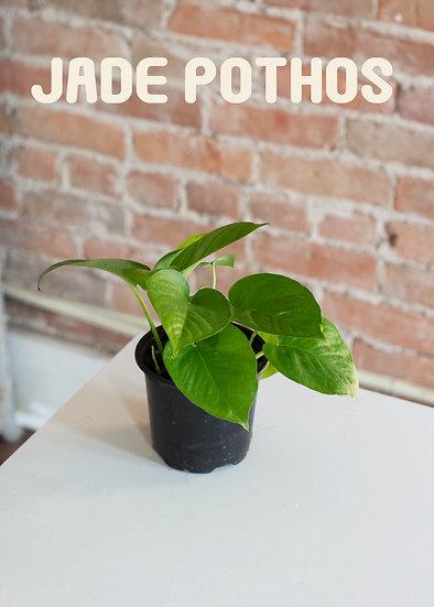 Jade Pothos, Low Light, Beginner