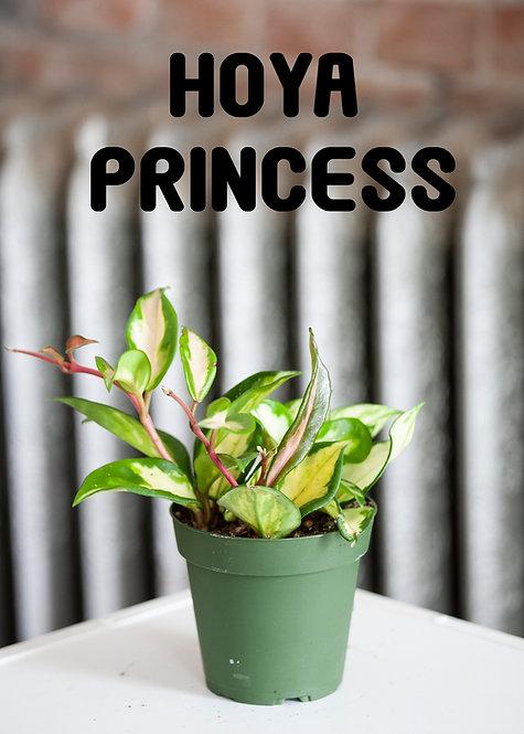 Hoya Princess, Uncommon, Wax Plant, Blooming, High Light