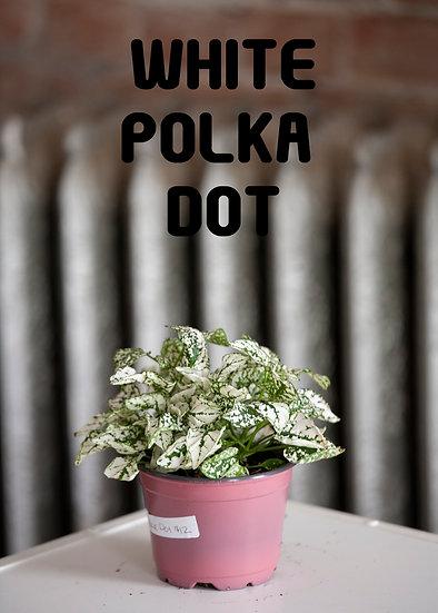 Polka Dot Plant, Splash, Non-Toxic