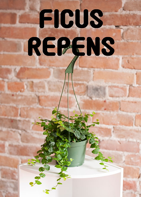 Ficus Repens, Creeping Fig, Low Light, Easy, Vining, Fast Growing