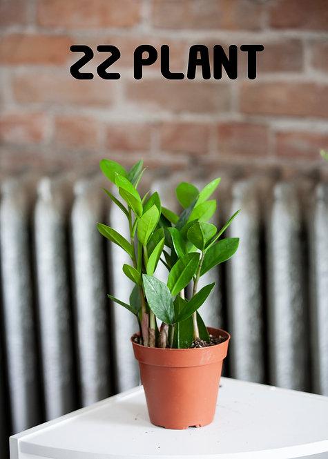 ZZ Plant, Zamioculcas Zamiifolia, Low Light, Easy To Grow, Beginner