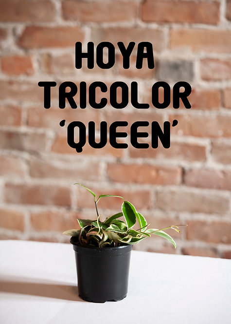 Hoya Carnosa 'Krimson Queen' Tricolor, Wax Plant, Pet Safe, Toxic Free