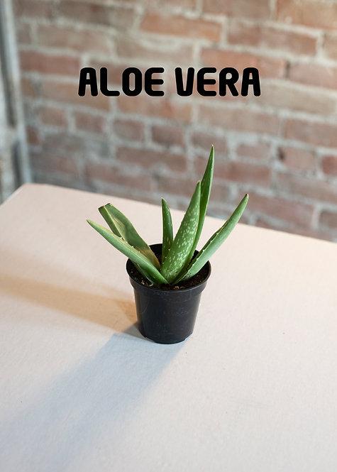 Aloe Vera Plant, Succulent, Medicinal,
