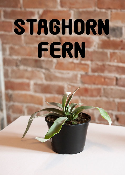 Staghorn Fern, Pet Safe, High Humidity, Unique