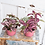 Thumbnail: Polka Dot Plant, Splash, Non-Toxic