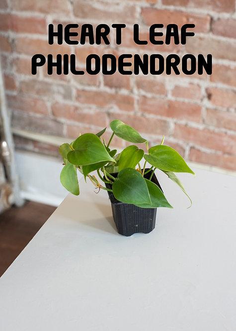 Sweetheart Philodendron, Green Leaf, Heartleaf, Easy, Low Light, Beginner