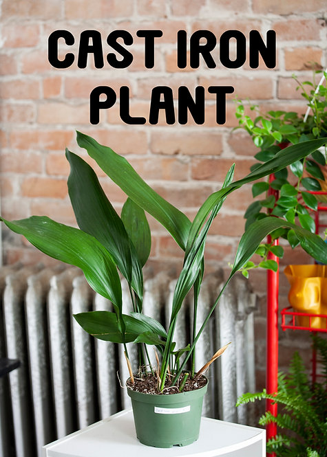 Cast Iron Plant, Low Light, Beginner, Pet Safe, Aspidistra, Bar Room Plant