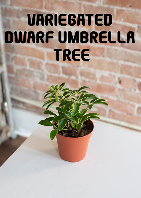 Dwarf Umbrella Tree, Variegated, Schefflera Arboricola, Beginner, Low Light