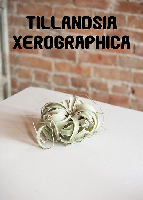 Tillandsia Xerographica, Airplant, Bromeliad, King Of Airplants, Non-Toxic