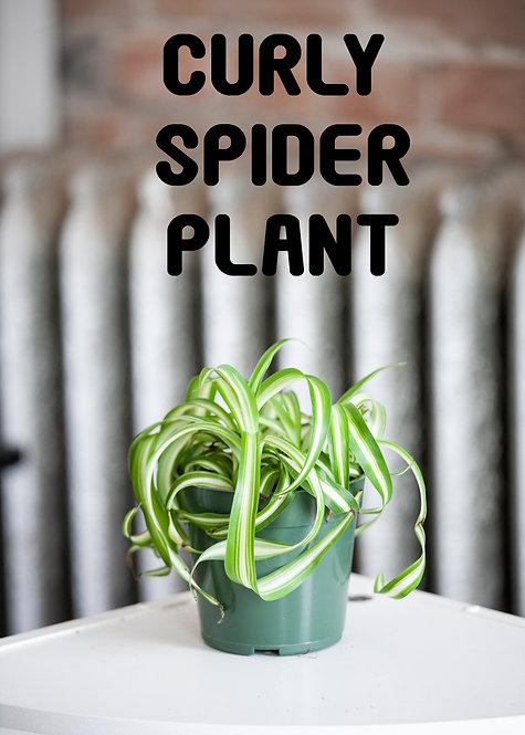 Curly Variegated Spider Plant, Radermachera Sinica, Easy, Beginner, Pet Safe