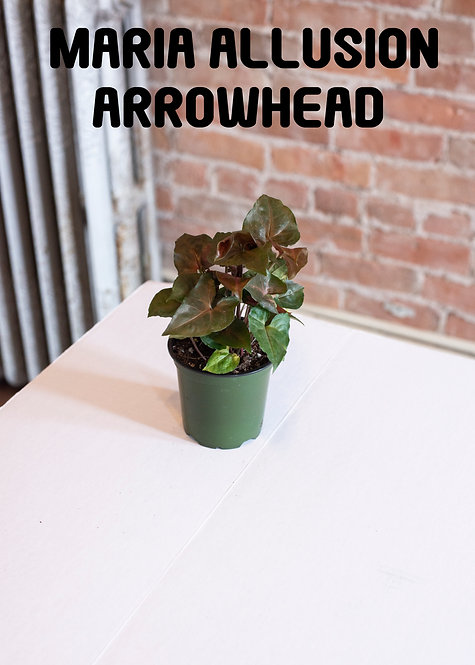 Maria Allusion Arrowhead, Syngonium, Nephythis, Dark Leaves