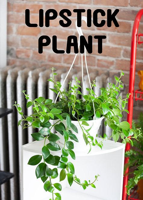 Lipstick Plant, Aeschynanthus Radicans, Unique, Blooming, Pet Safe
