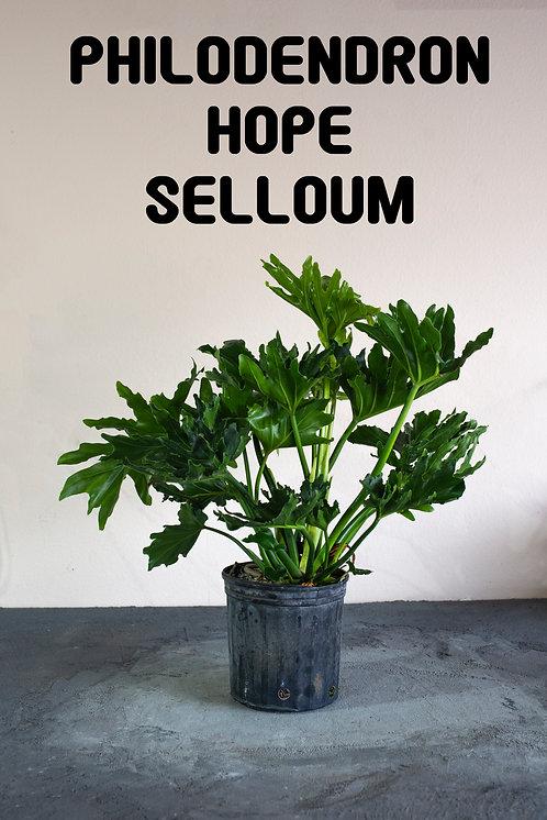 Philodendron Hope Selloum, Philodendron bipinnatifidum,  Hybrid, Beginner