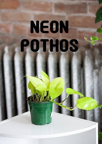 Neon Pothos, Beginner, Low Light