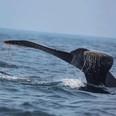 mazatlan whale watching