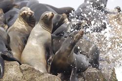 Sea lions Mazatlan