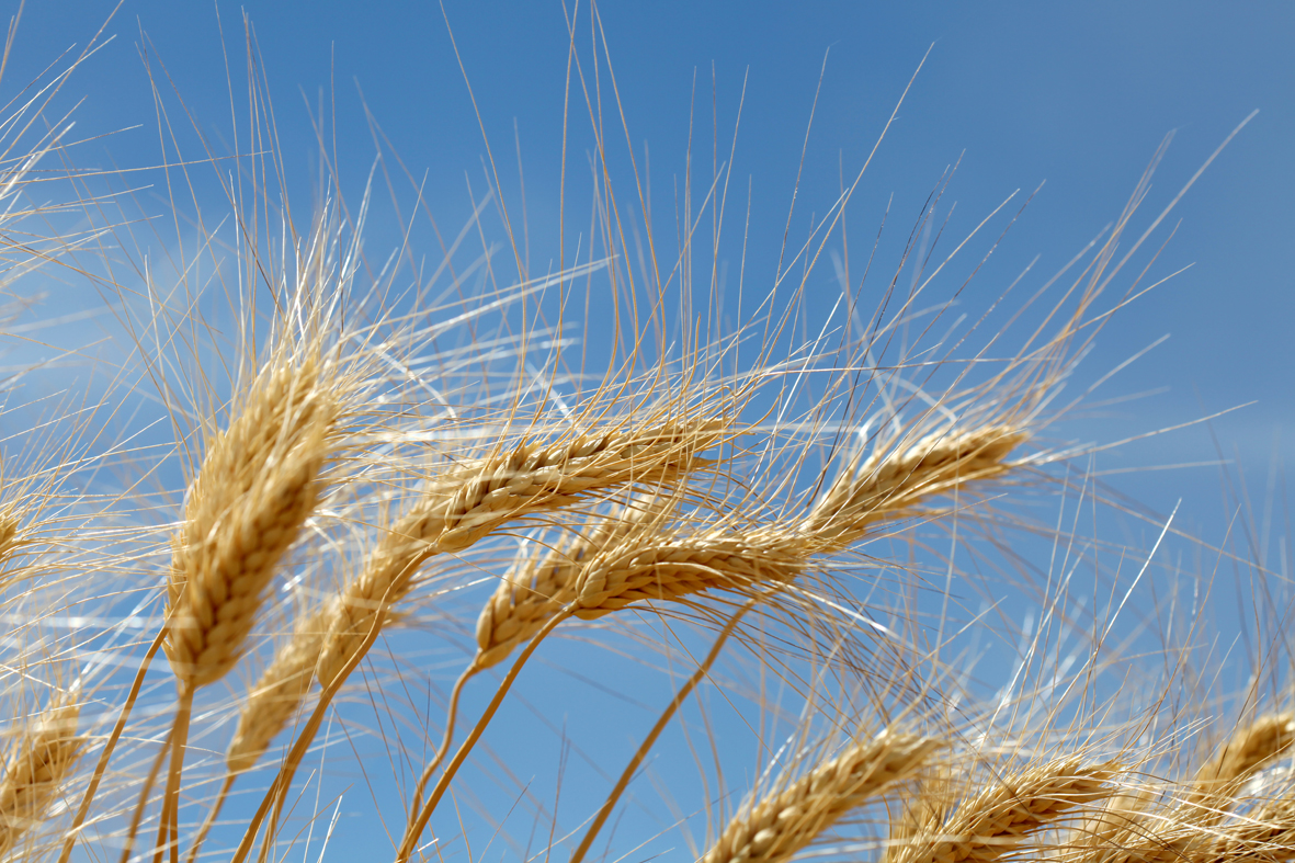 wheat_nendy