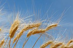wheat_nendy