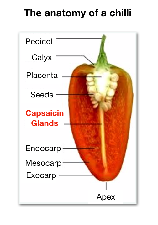 The anatomy of a chilli