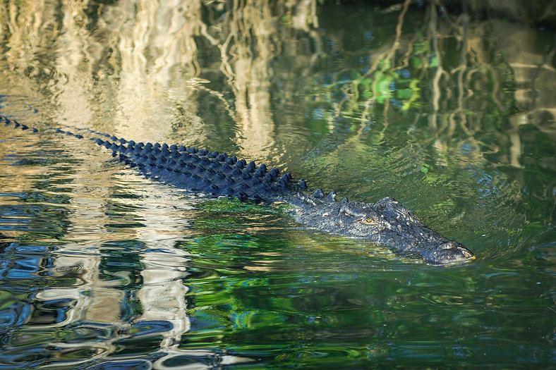 crocodile-695187.jpg