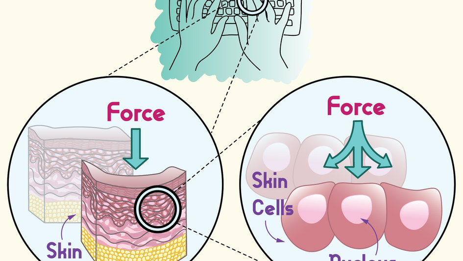 Force acting on the nuclei of skin cells